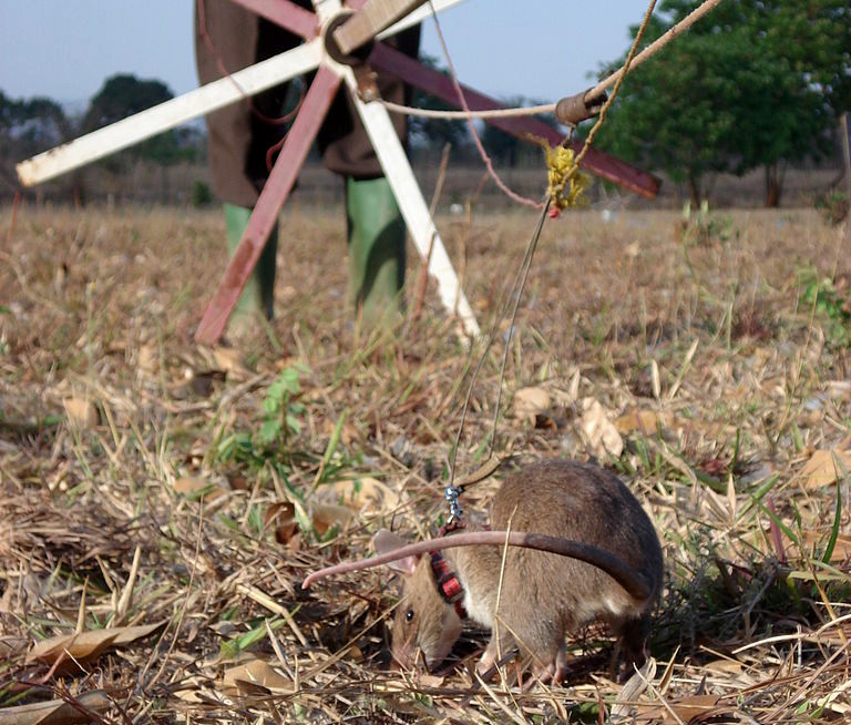 """Eine """"Hero Rat"""" bei der Suche nach Landminen"""